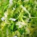 shredded_lettuce